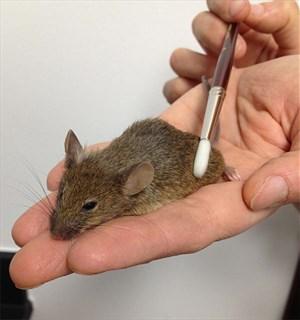 wohlfühle durch Pinseln: an Mäusen wurden die neuronalen Grundlagen des Streichelns identifiziert
