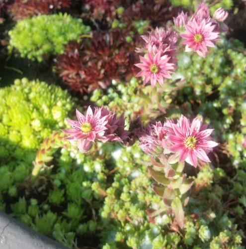 Blume Hausapfel