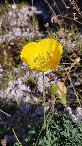 Gelbe Mohnblume, Ausdruck von Selbstliebe.